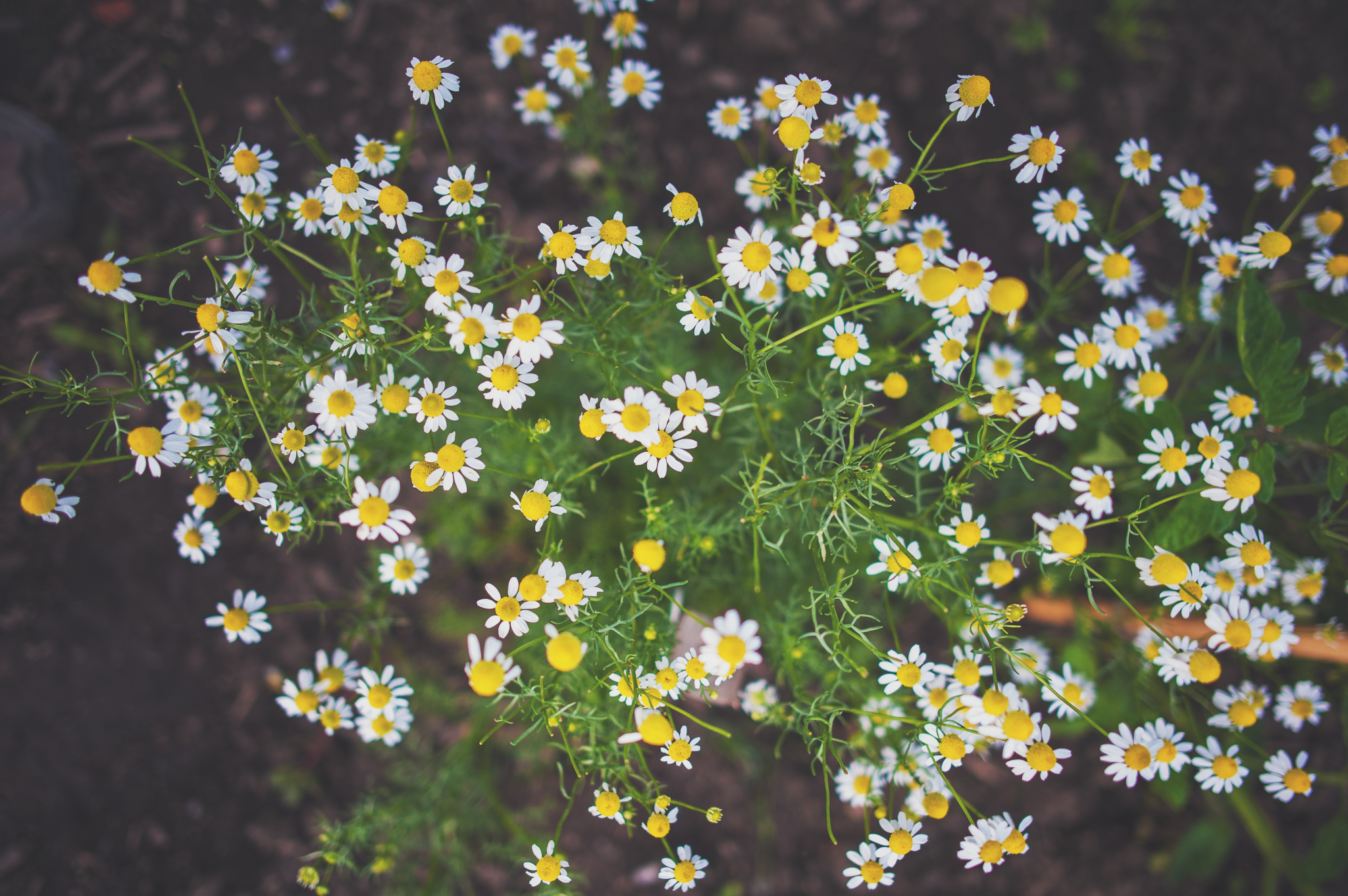 camomile-flowers-tea-herbal-montreal-botanical-garden-photographer-lifestyle-alex-tran