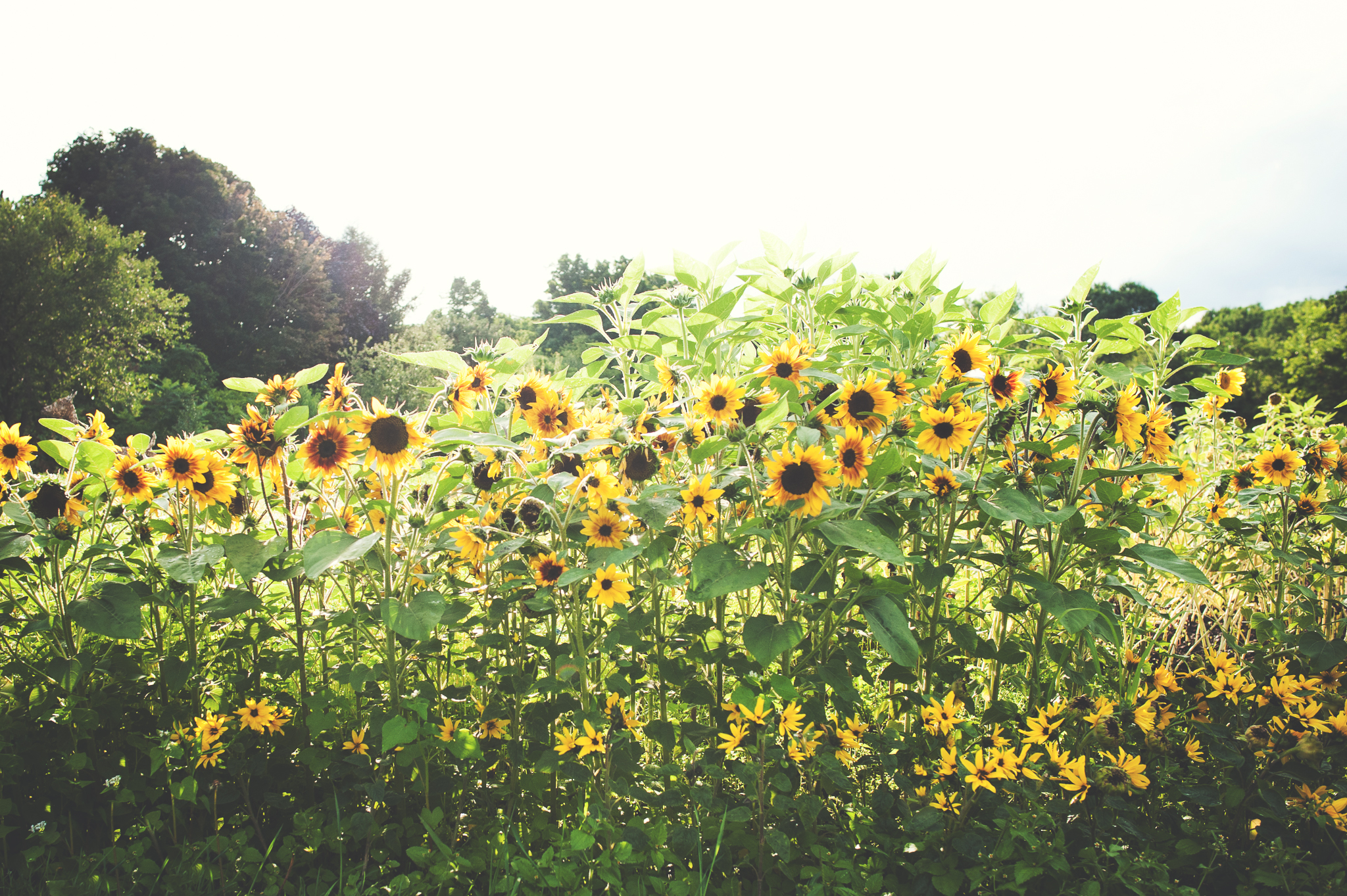 sun-sunflowers-flowers-field-montreal-botanical-garden-photographer-lifestyle-alex-tran