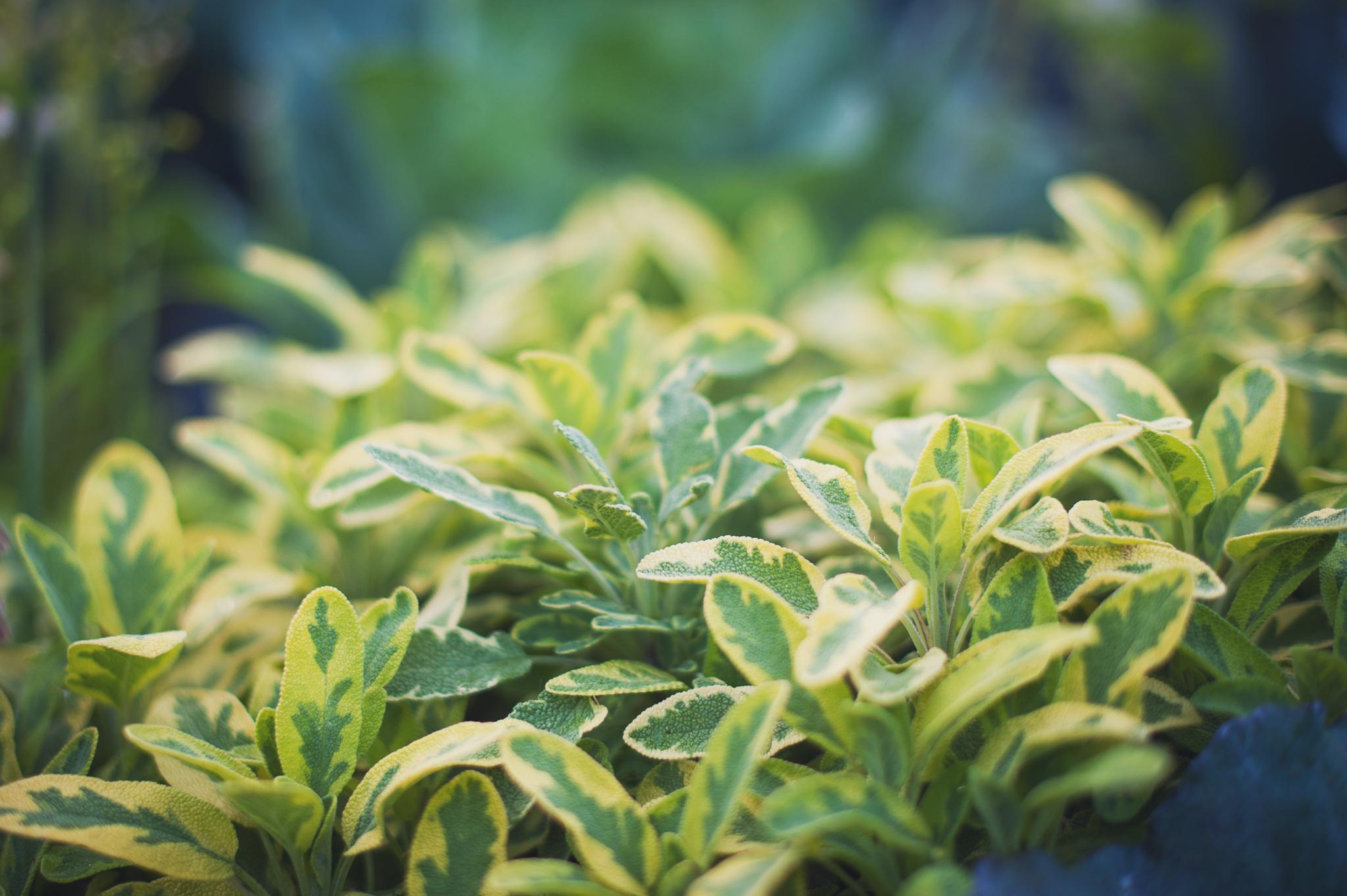 sage-herb-plant-montreal-botanical-garden-photographer-lifestyle-alex-tran