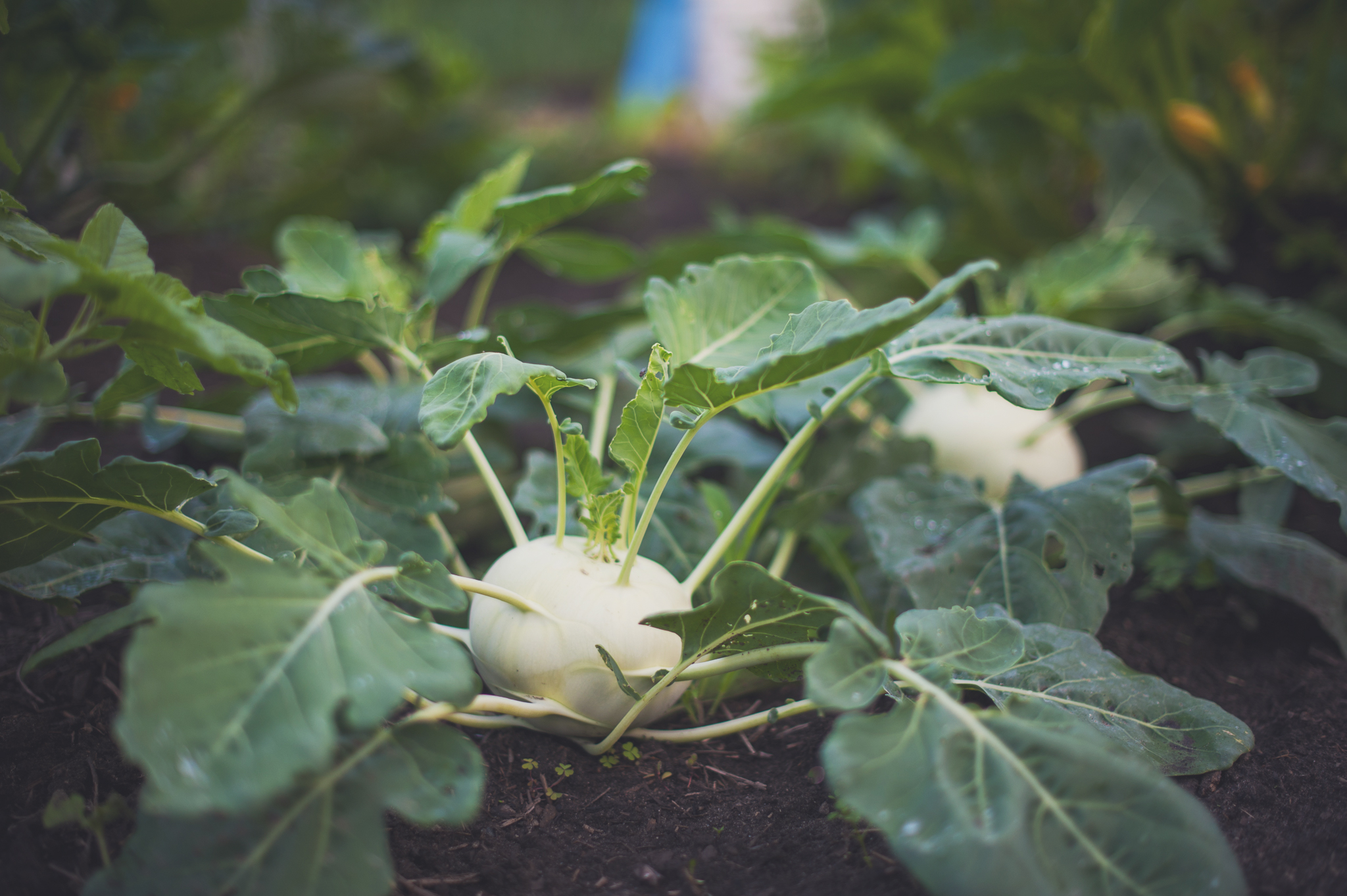 vegetable-kohlrabi-montreal-botanical-garden-photographer-field-science-alex-tran