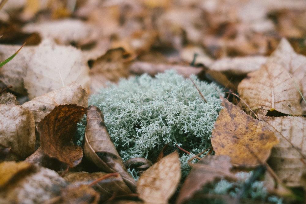 reindeer-lichen