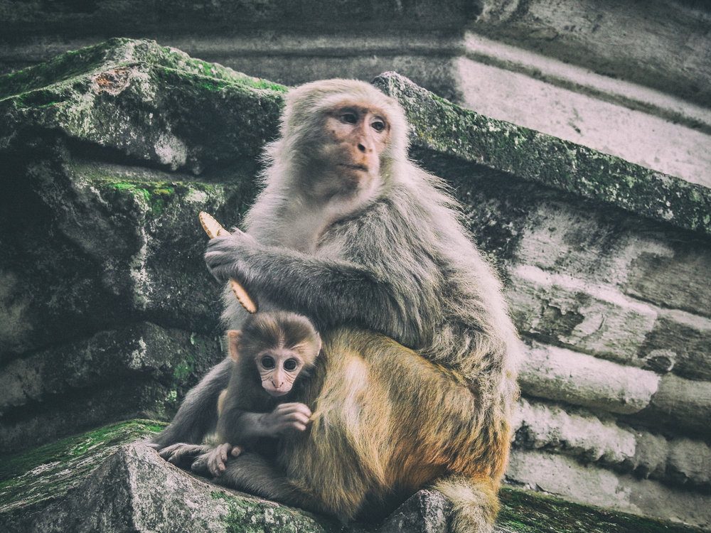 Rhesus Macaques' life expectancy has been reduced by a third due to junk food diet and polluted river water.