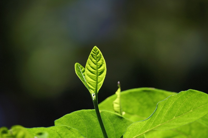 Green Leaf 1.jpg