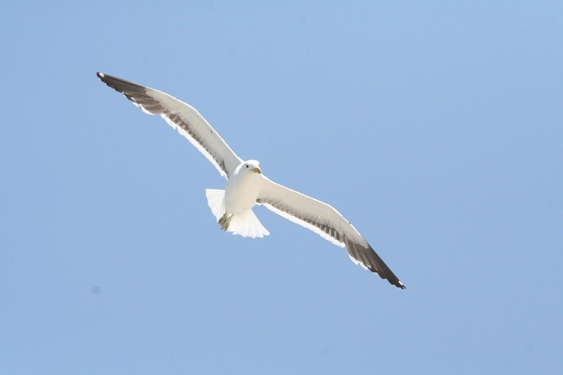 Seagull 4.jpg