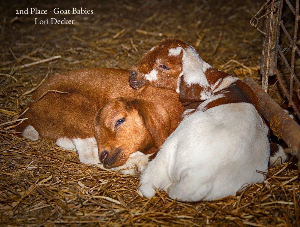 Goat Babies Lori Dixon 2nd.jpg