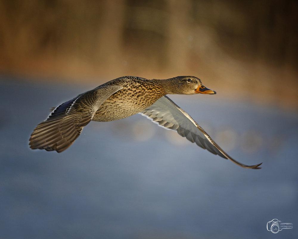 Duck 3 paul b.jpg