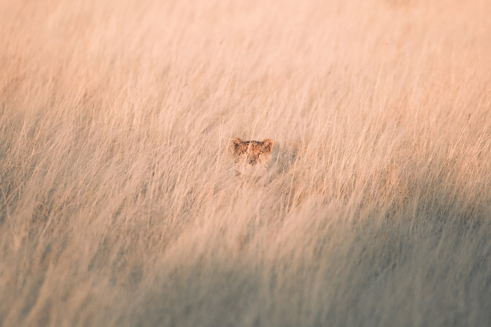 Scared of the car at first, one of the male cheetahs remains largely hidden in the long grass