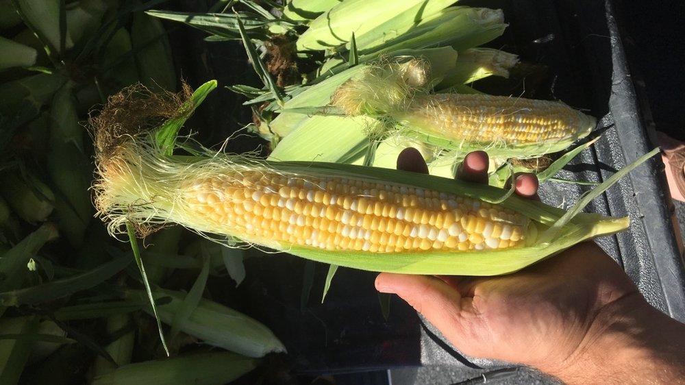 Sweet Corn pic 1.JPG