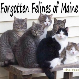 Forgotten Felines of Maine raises awareness of the plight of free-roaming cats by promoting and expanding humane methods for the care of these cats. They support the efforts of caretakers humanely caring for feral, stray, homeless and abandoned cats by: - Educating the public about ways that cats and people can live peacefully together - Providing materials, training and advice on Trap, Neuter, and Return (TNR) - Assisting caretakers in the management of cat colonies by providing food & shelters - Providing free humane traps for TNR - Providing spay/neuter services for these cats - Uniting with other like-minded organizations to affect change and support compassion toward cats