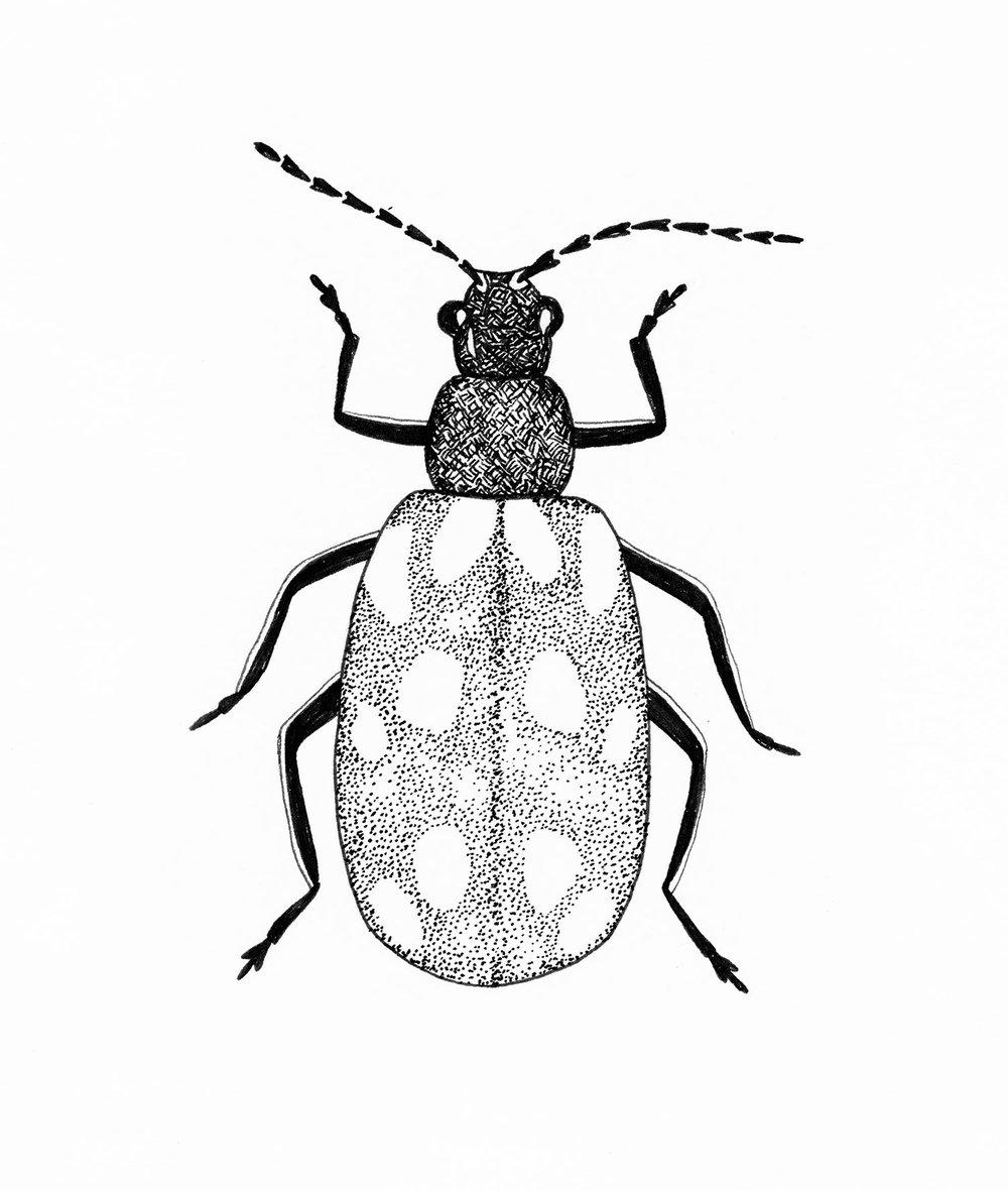emily-rose-artist--beetle--pen--drawing--observations.jpg