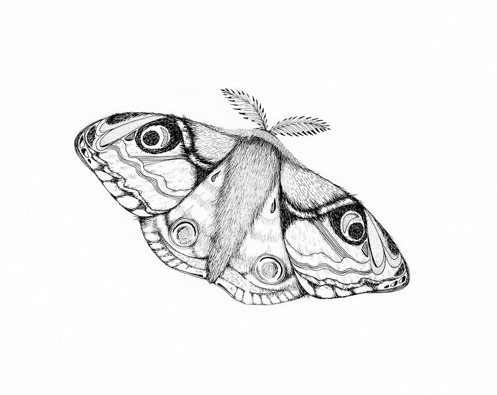 emily-rose-artist--pen--drawing--moth--insect--botanical--illustration.jpg