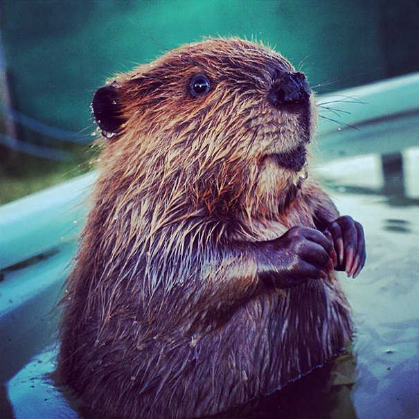 cute-baby-beavers-.jpg