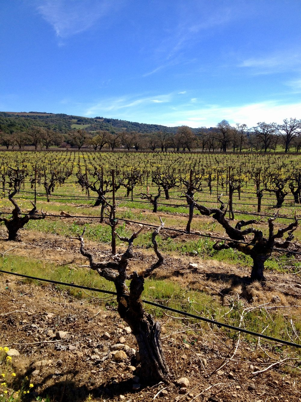 Bedrock Vineyard after pruning
