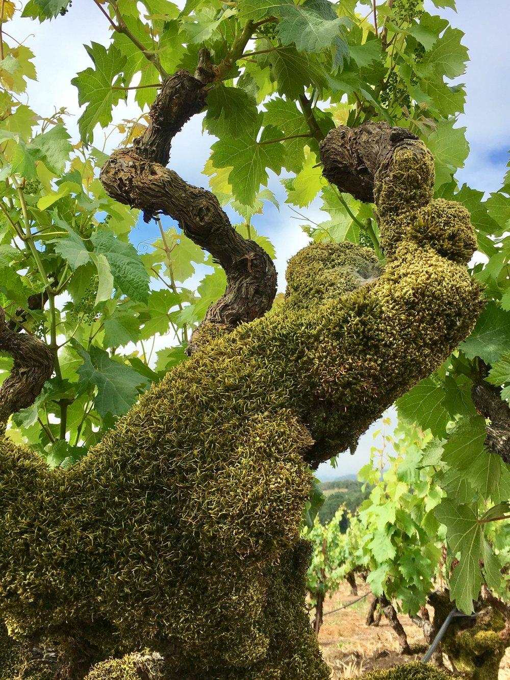 Moss covered Zinfandel vine