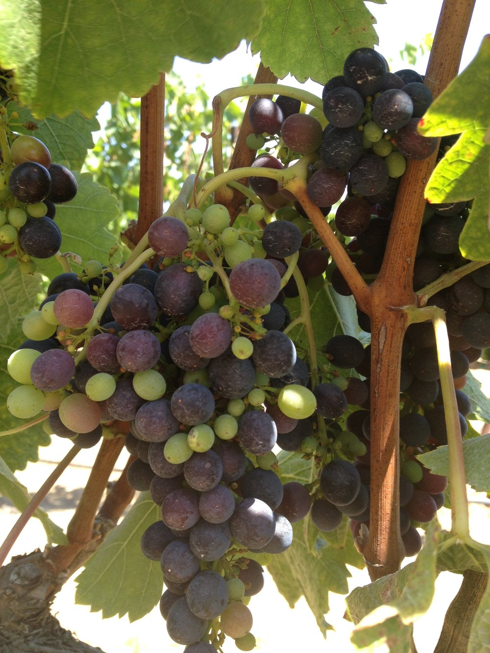 Veraison at James Berry