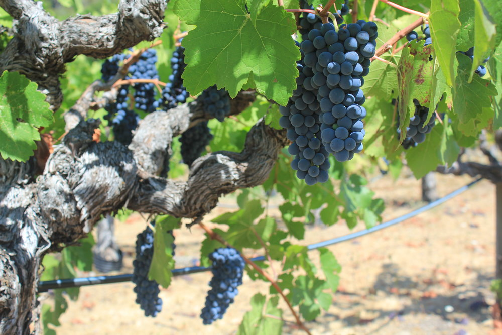 Blue-black clusters of Petite Sirah