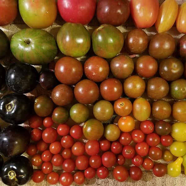 Morrison Tomato Farm