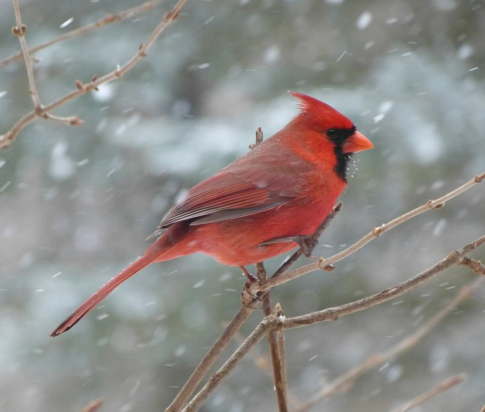 Cardinals Appear When Angels Are Near Our Wander Life Photography
