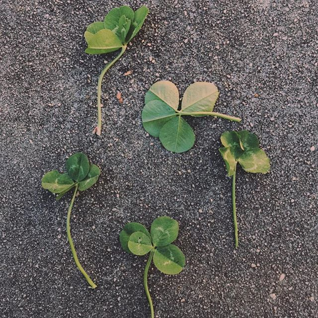 """Clover hunting is my hobby. These are the first of the spring season. Once I find a patch I cannot stop myself from looking. I could be with anyone, anywhere, my brain doesn't care. I have to stop and look.  Brad says: """"Once you spot a patch, there is no stopping you. You just can't help yourself!"""" As a child we didn't have these clover in my area, so I used to believe they were rare to find.  Then as an adult we moved to VA and I found them everywhere.  I realized they aren't rare. You just have to have a keen eye for detail, spotting the differences of the patterns in the leaves, and the ability to hyperfocus. That's my clover hunting secret."""