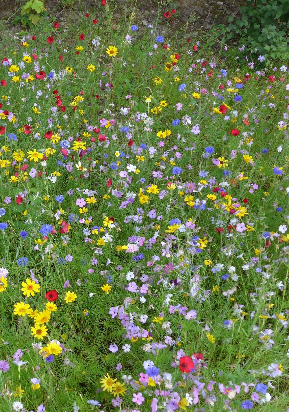 Wild_flower_meadow,_Bradford_University_(28132753144).jpg