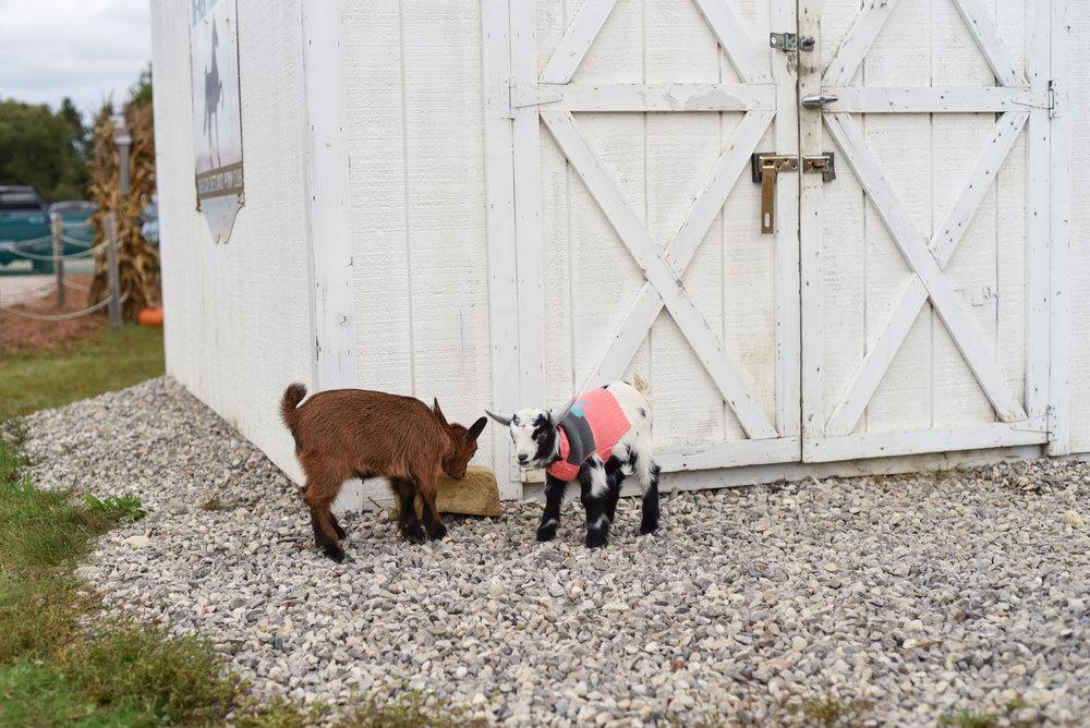 Goats at Buckley Farm