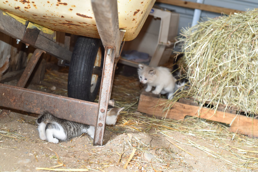Kittens at Pahl's Farm Park