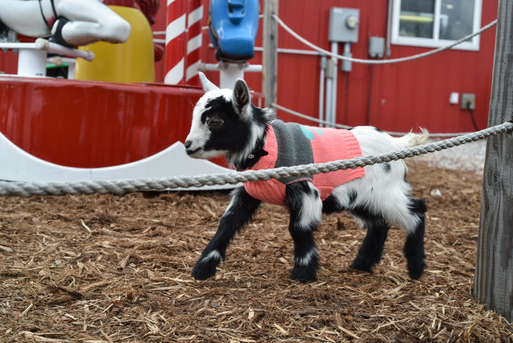 Goat Kid at Pahl's Country Store