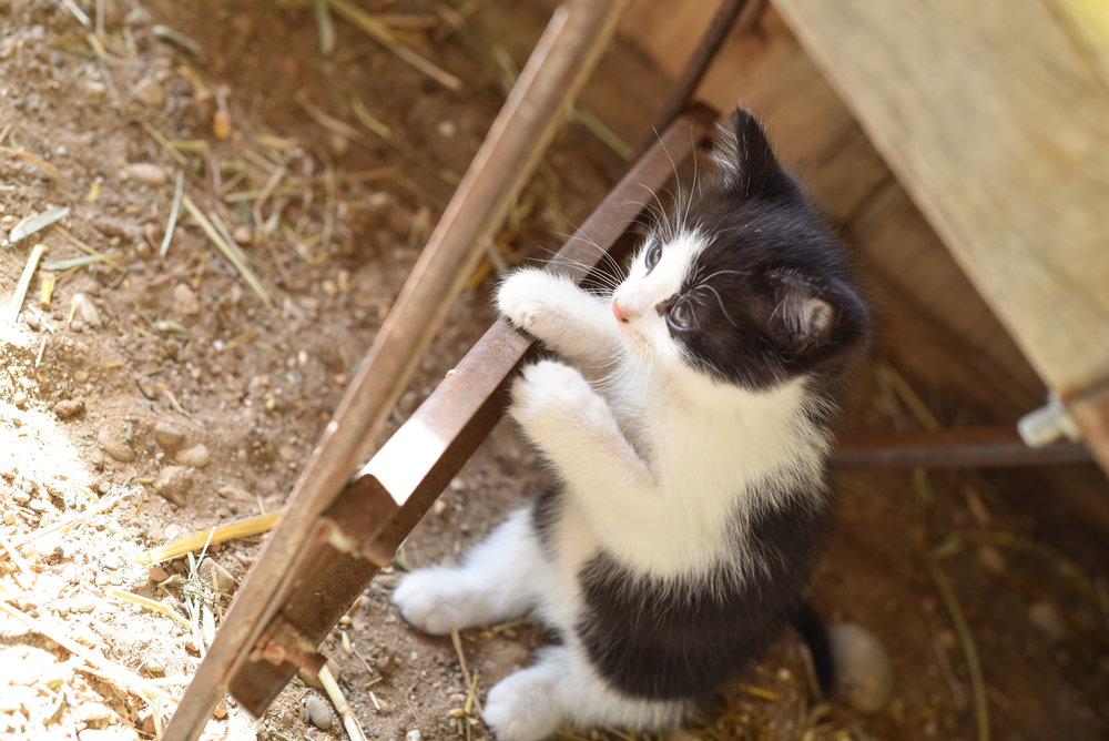 Kittens in Northern Michigan Farm