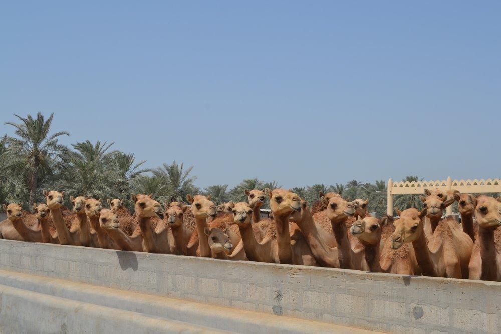 The Royal Camel Farm outside of Manama