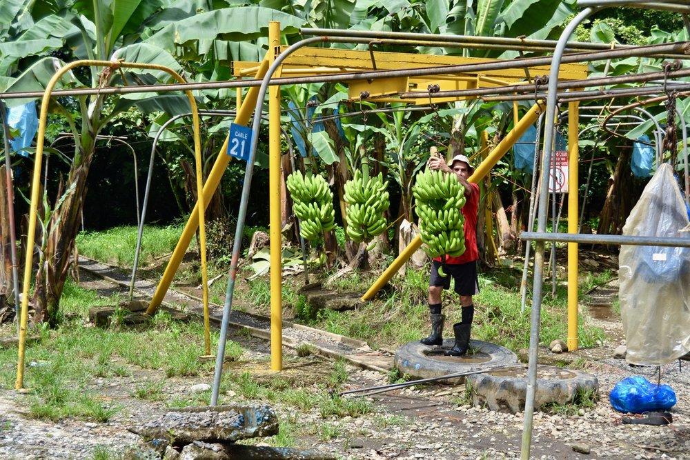 Banana farming en route to Tortuguero