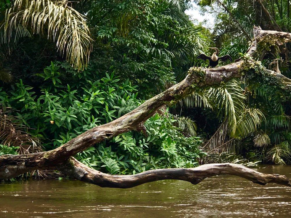 Bird Life Tortuguero National Park.jpg