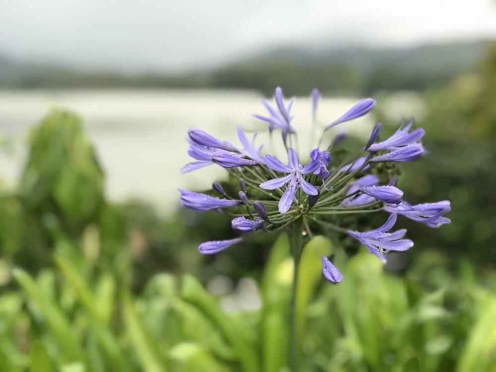 Purple Flower Costa Rica.jpg