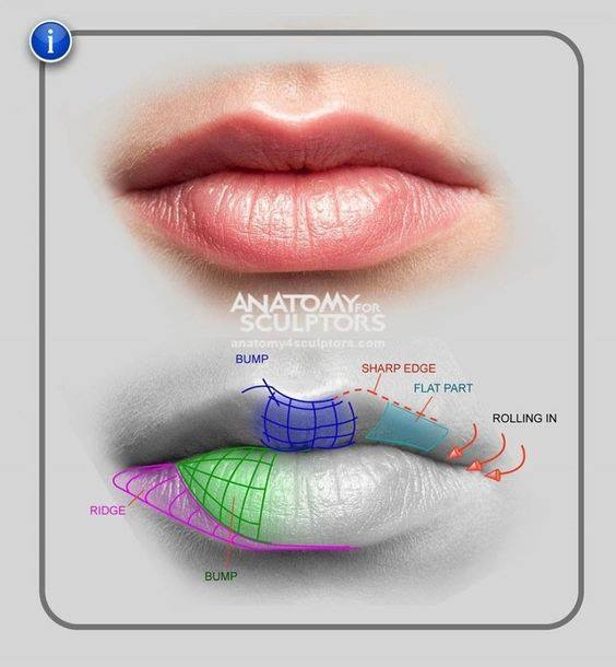 lip proportions.JPG