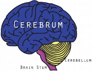 cerebrum.jpg