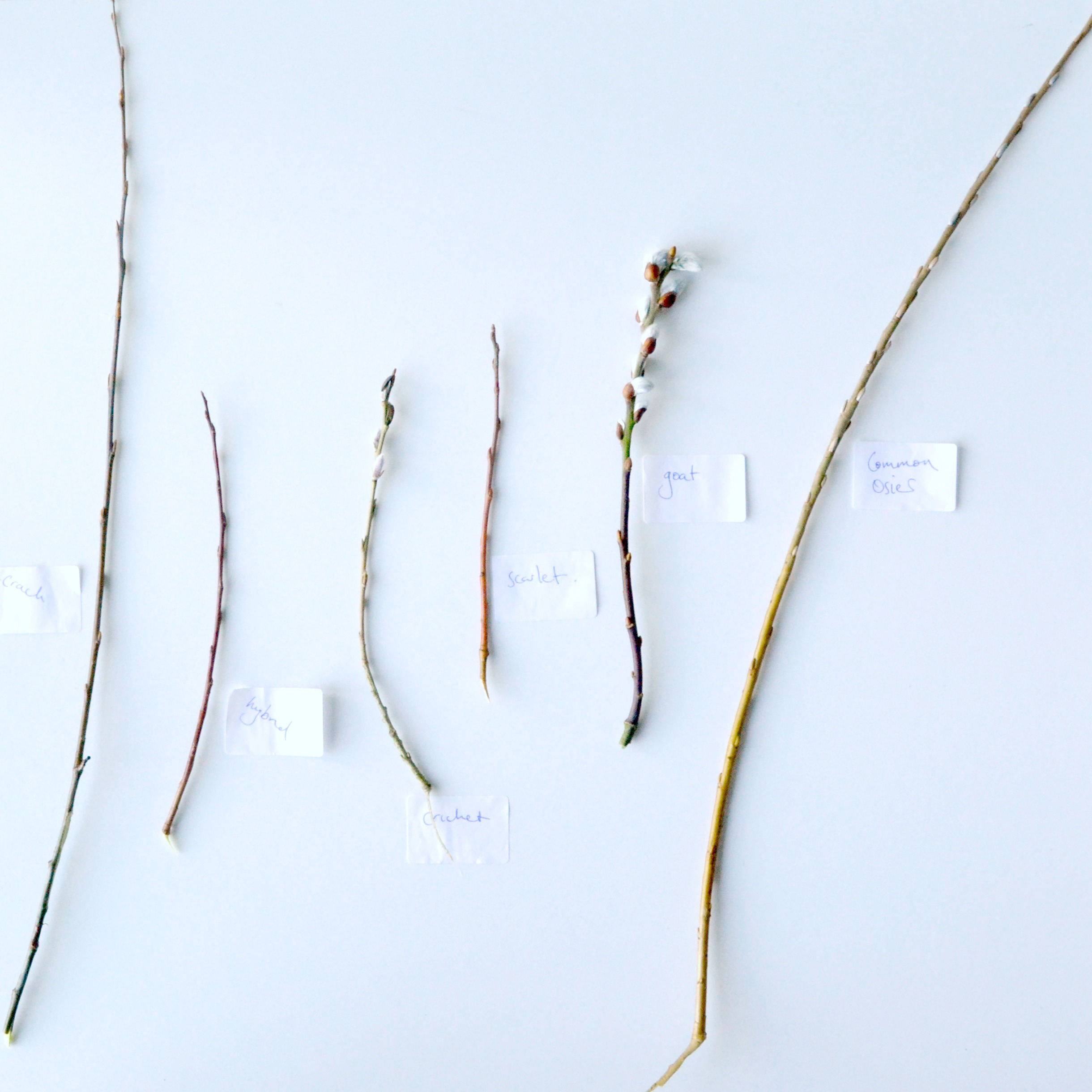 types of willow
