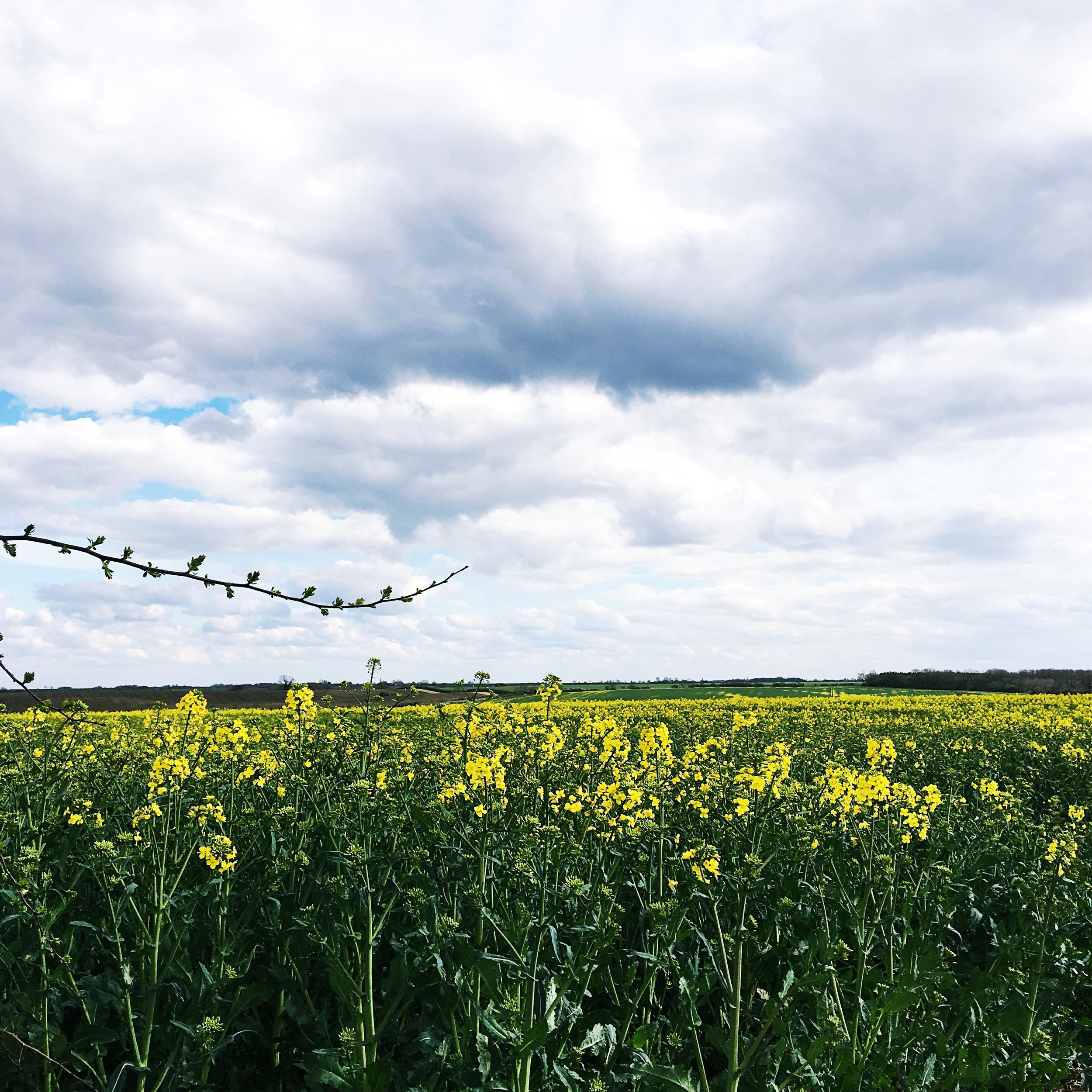 rape seed oil fields