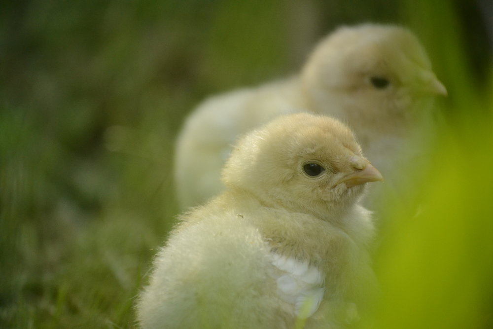 brahma-chicks.jpg