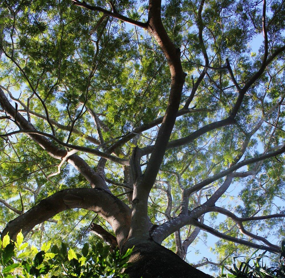 Guanacaste_tree.JPG