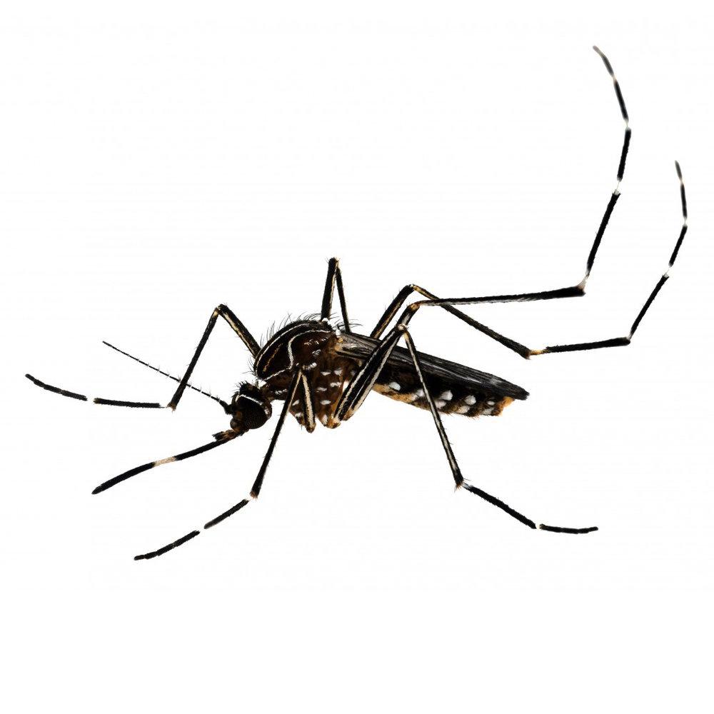 Australian Backyard Mosquito (Aedes notoscriptus)