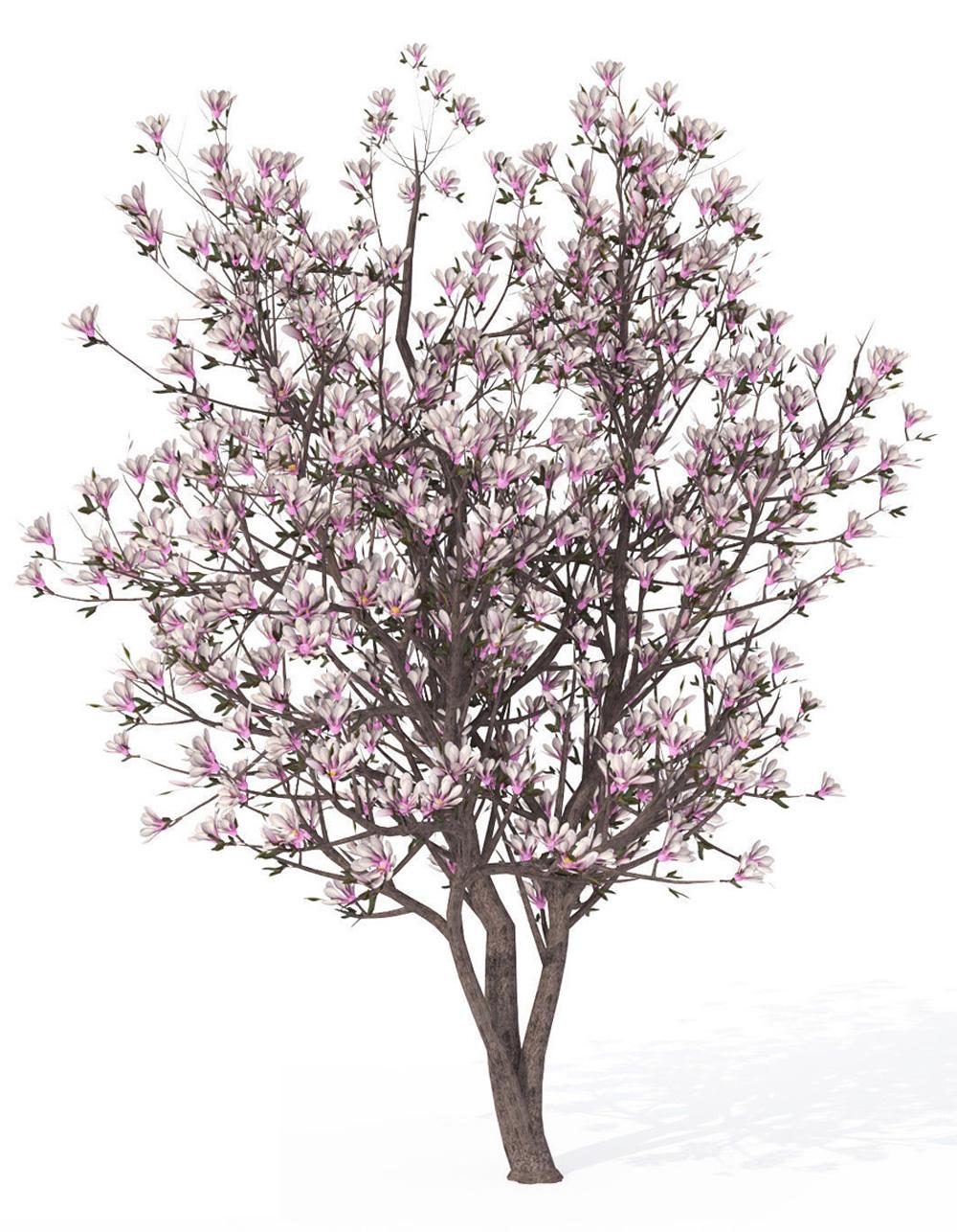 magnolia-illust.jpg