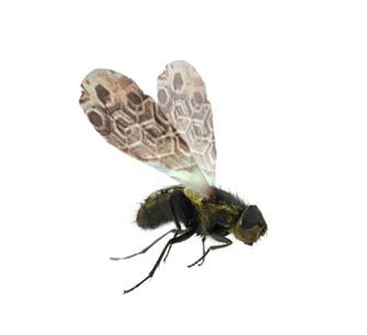House-Fly2.jpg