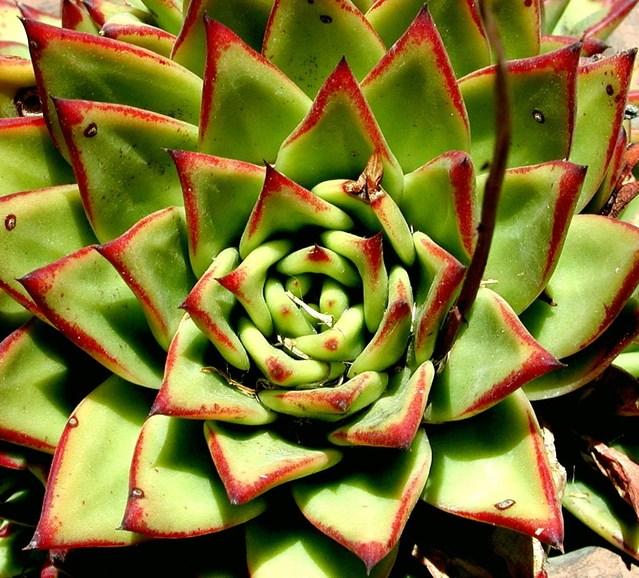 green-n-red-succulent-1454511-639x578.jpg