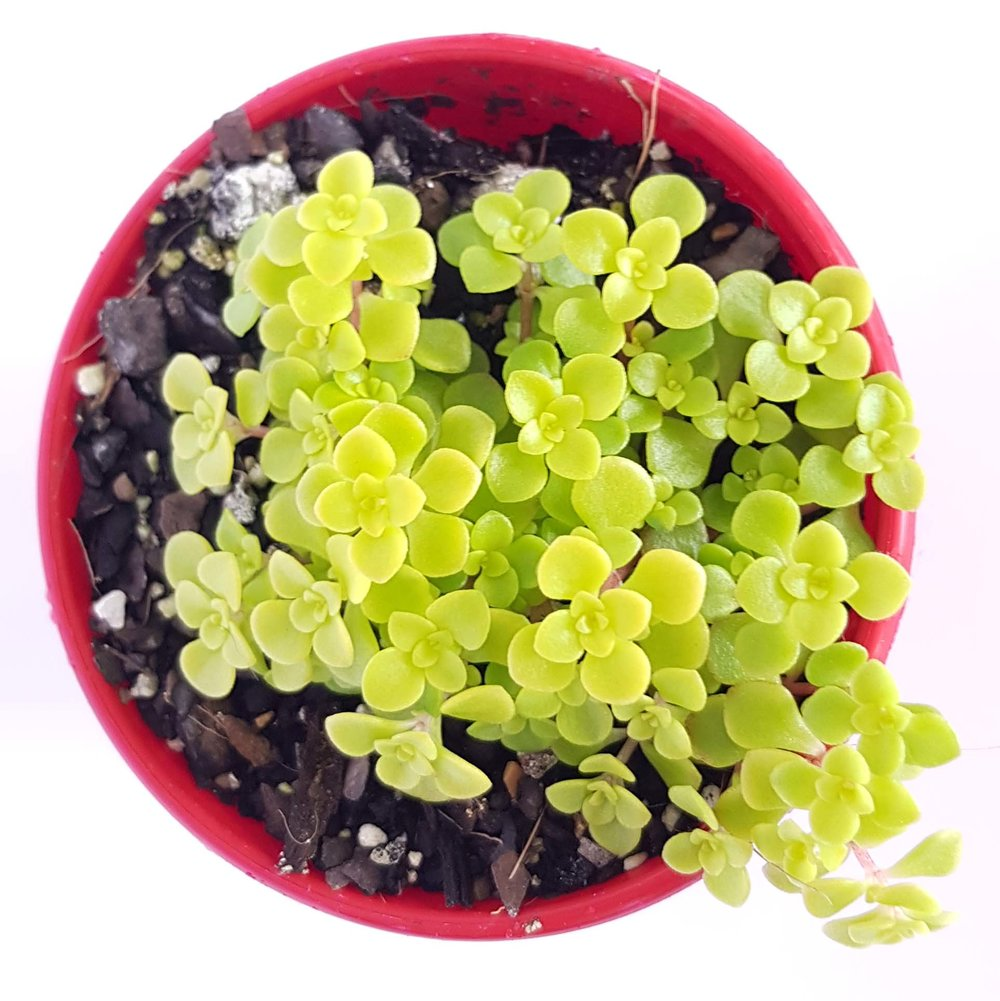 This Sedum will thrive with mottled sunlight.