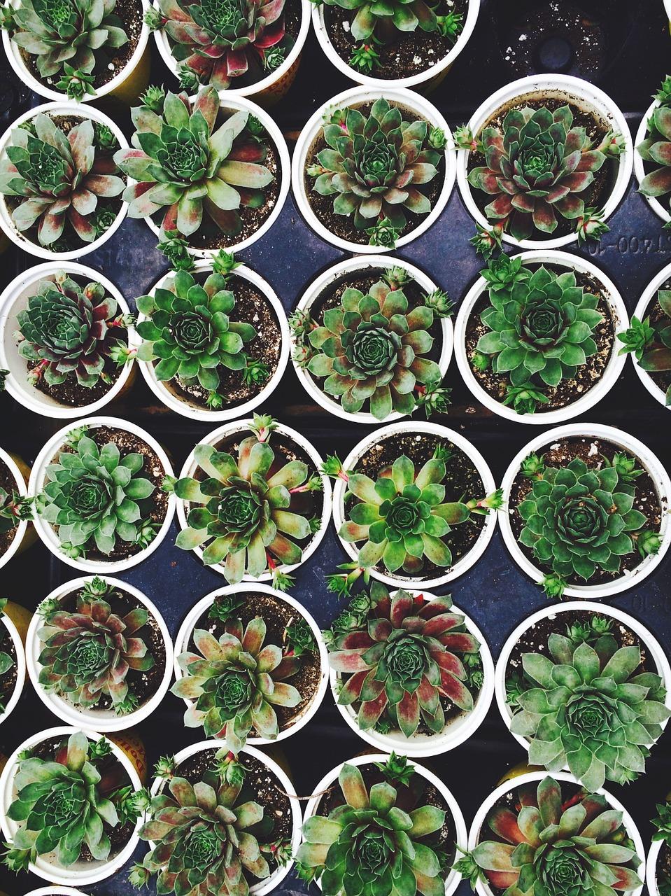 Succulents Online Filler pic4.jpg