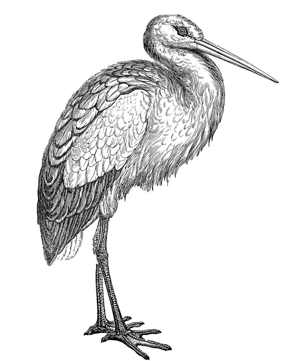 Der Weißstorch - Kennzeichen Gefieder weiß, nur Schwungfedern und Teil der Oberflügeldecken schwarz. Schnabel und Beine rot. Geschlechter nur sehr schwer zu unterscheiden, Schnabel des Männchens meist etwas länger und stärker. Jungvögel nach dem Ausfliegen nur während der ersten Wochen noch durch schwärzliche Schnabelspitze von den Altvögeln zu unterscheiden.Körpermaße Stehend etwa 80 Zentimeter hoch, 2600 bis 4400 Gramm schwer. Flügelspannweite bis zu 2 Meter, Schnabellänge 14-19 Zentimeter.Verbreitung Europa von Portugal im Westen bis etwa zum 40. LG nach Osten. Nordgrenze entlang der Ostseeküste. Besiedelt auch Teile Nordafrikas und Kleinasiens. Kleine Brutpopulation in Südafrika.Bestand Weltweit etwa 166.000 Brutpaare (1994), davon 4.300 in DtlLebensraum Offene Landschaften wie Flussniederungen mit periodischen Überschwemmungen, extensiv genutzte Wiesen und Weiden, Kulturlandschaft mit nahrungsreichen Kleingewässern.Nahrung Frösche, Reptilien, Mäuse, Insekten,Regenwürmer und Fische.Verhalten Tagaktiv. Segelt nach Möglichkeit, Ruderflug schwerfällig. Nahrungserwerb im Gehen. Nistplatztreue. Das Männchen trifft vor dem Weibchen ein und besetzt möglichst das Nest vom Vorjahr. Heftige Kämpfe mit Besetzern vorjähriger Nester. Begrüßung des Partners mit Klappern des Schnabels. Außerhalb der Brutzeit in kleineren oder größeren Verbänden.Fortpflanzung Brütet auf Hausdächern, Türmen, Strommasten oder Bäumen. Nimmt künstliche Nestunterlagen wie Wagenräder gerne an. Brutzeit Anfang April bis Anfang August. Eine Jahresbrut. 3-5 (7) Eier. Beide Partner brüten. Brutdauer 32-33 Tage. Nestlingszeit: etwa 2 Monate. Futter wird im Kehlsack zum Nest getragen und ausgewürgt.Alter Ältester Ringfund 35 Jahre. Durchschnittsalter 8-10 Jahre.Fakten: www.nabu.de /Illustration:www.thegraphicsfairy.com