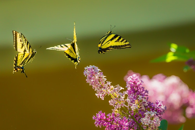 大大小小的蝴蝶 上下打量着花儿 - 孰是我的所爱 哪儿是我栖身之处