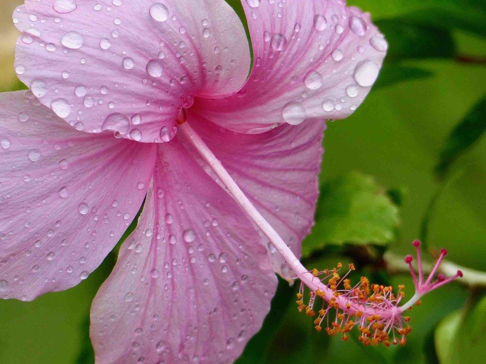 Hibiskus rosa.jpg