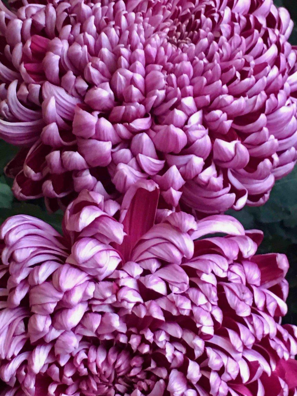 Chrysantheme.jpg