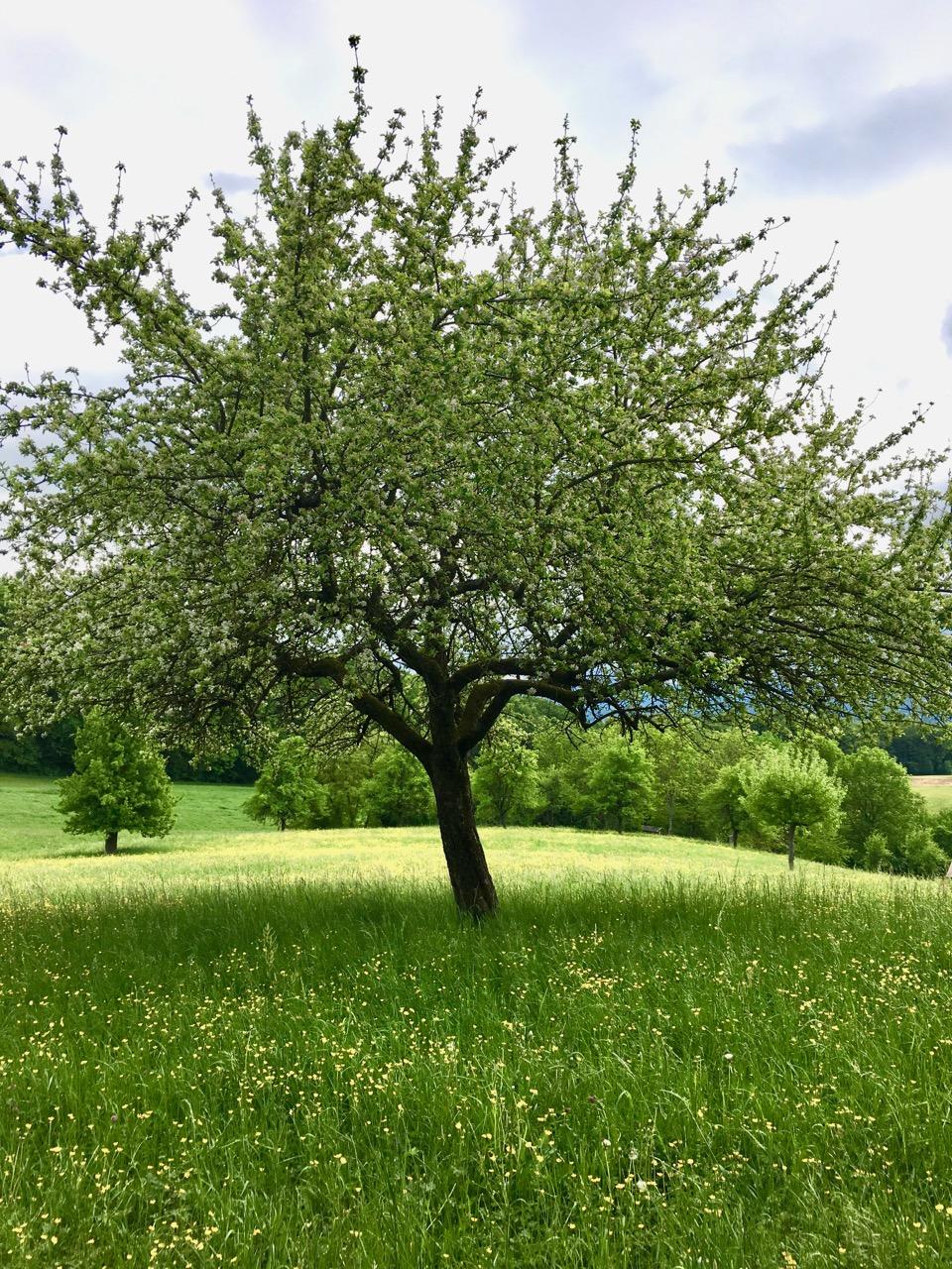Wanderung am 1. Mai mit frühlingshaftem Baum auf der Wiese