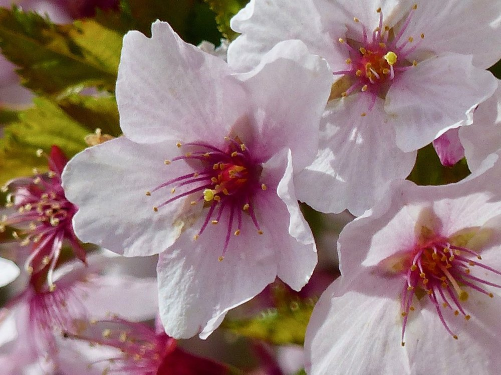 hellrosa Blüte